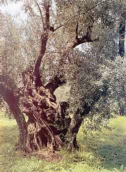 Ελαιόδενδρο